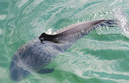 Photo of a Harbor Porpoise
