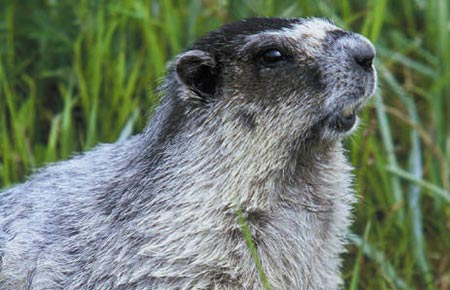Photo of a Hoary Marmot