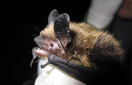 Photo of a Keen's Myotis