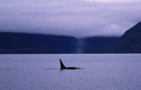 Photo of a Killer Whale