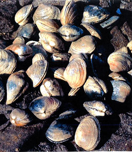 Photo of a Littleneck Clam