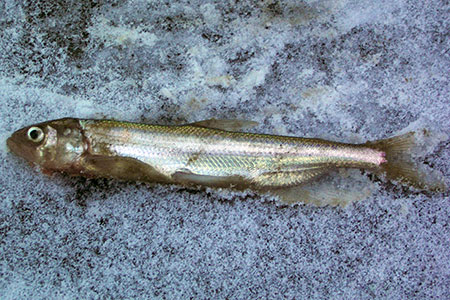 Photo of a Longfin Smelt