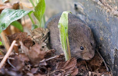 Photo of a Meadow Vole