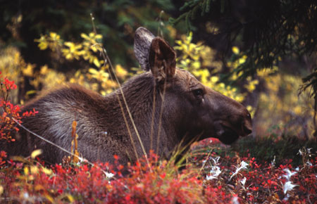 Fish  Game Alaska on Moose Photo Gallery  Alaska Department Of Fish And Game