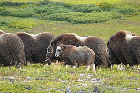 Alaska Department Fish  Game on Muskox Photo Gallery  Alaska Department Of Fish And Game