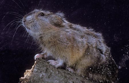 Photo of a Northern Collared Lemming