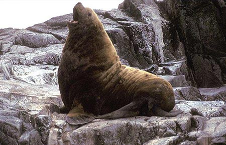 Photo of a Northern Fur Seal