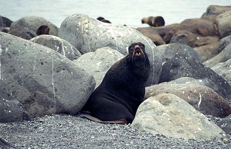 Picture of a Northern Fur Seal