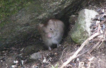 Photo of a Northern Red-backed Vole