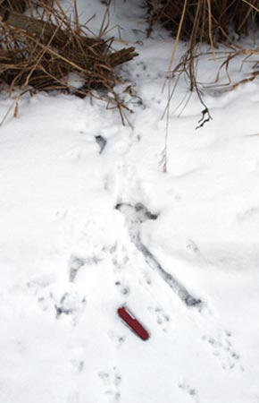Image of Northern Red-backed Vole tracks