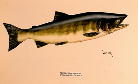 Photo of a Pink Salmon