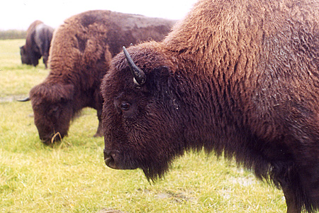 Photo of a a plains bison