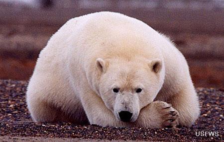 Polar Bear Species Profile Alaska Department Of Fish And Game