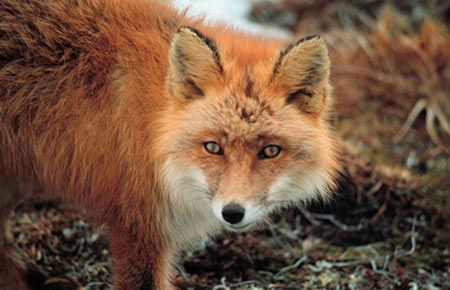 Photo of a Red Fox