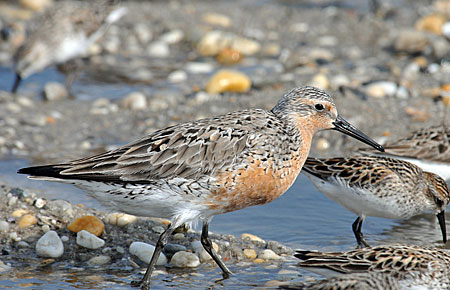 Photo of a Red Knot