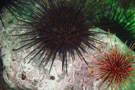 Photo of a Red Sea Urchin