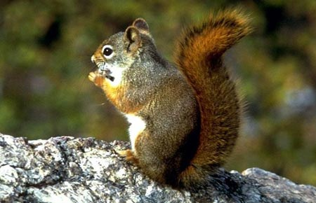 Photo of a Red Squirrel