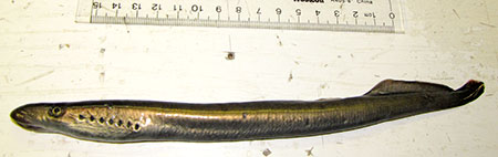 Photo of a River Lamprey