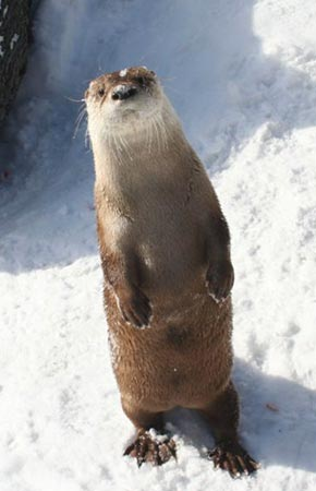 Photo of a River Otter