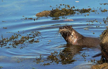 Picture of a river otter
