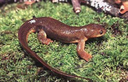 Photo of a Roughskin Newt