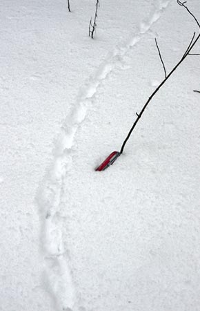 Image of Ruffed Grouse tracks