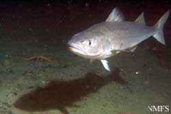 Photo of a Sablefish