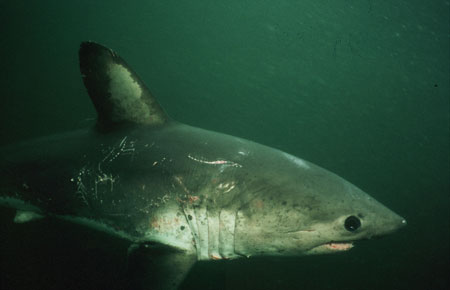 Photo of a Salmon Shark