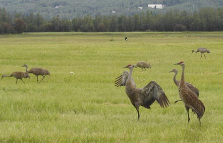 Photo of Sandhill Cranes