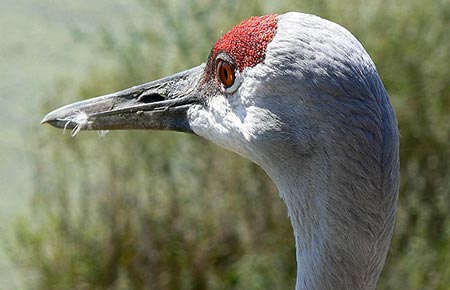 Photo of a Sandhill Crane