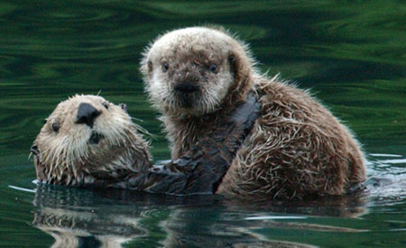 Northern Sea Otter Species Profile Alaska Department Of