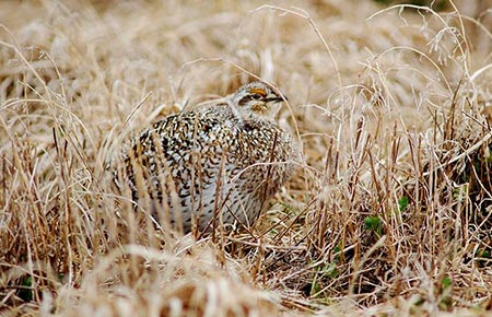 Picture of a Sharp-tailed Grouse
