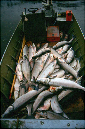 Alaska Department Fish  Game on Sheefish Photo Gallery  Alaska Department Of Fish And Game