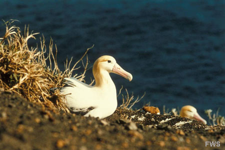 Photo of a Short-tailed Albatross