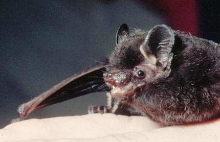 Photo of a Silver-haired bat