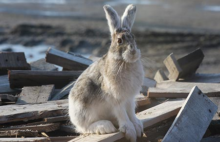 Photo of a snowshoe hare