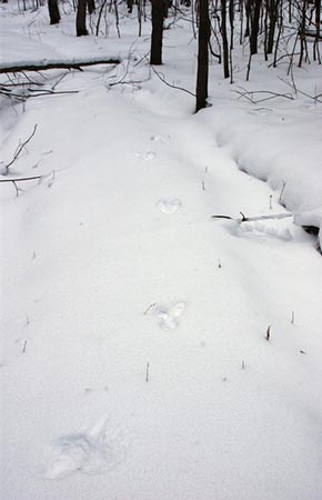 Image of Snowshoe Hare tracks