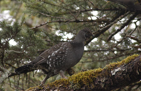 Photo of a Sooty Grouse