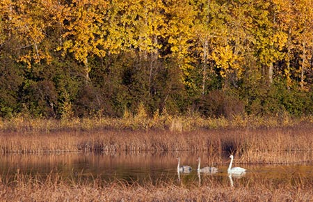 Picture of a Trumpeter Swan