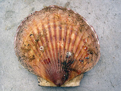 Photo of a Weathervane Scallop