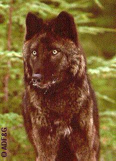 Canis lupus ligoni
