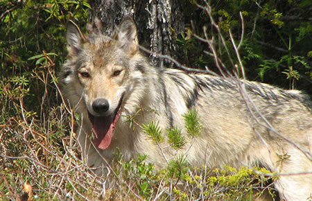 Alaska Dept Fish  Game on Wolf Photo Gallery  Alaska Department Of Fish And Game