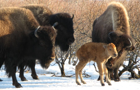 Wood Bison Species Profile Alaska Department Of Fish And Game