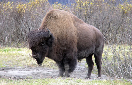 Photo of a Wood Bison