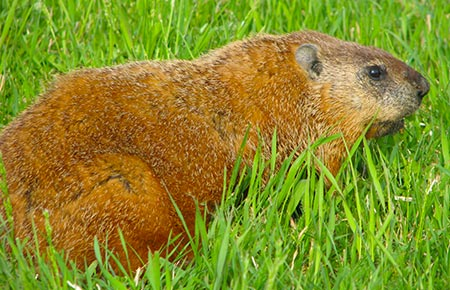 Photo of a Woodchuck in the grass
