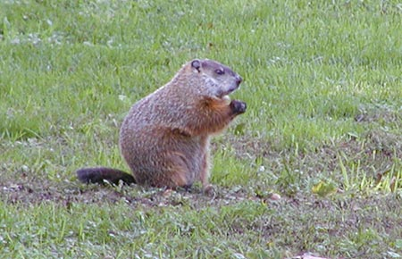 Photo of a Woodchuck (©Marj Rines, Mass Audubon)