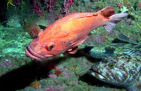 Yelloweye rockfish photo gallery alaska department of for Alaska fish species