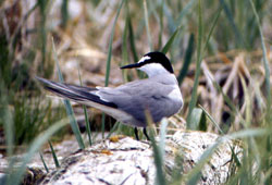 Photo of an Aleutian tern