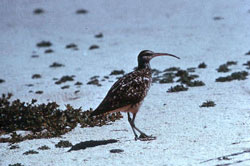 Photo of a bristle-thighed curlew