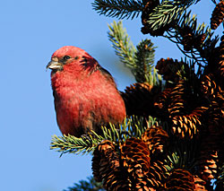 Photo of a red crossbill
